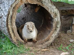 Otter_in_a_Hollow_Log_by_FantasyStock.jpg
